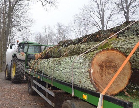 Zatrzymani na gorącym uczynku kradzieży drzewa