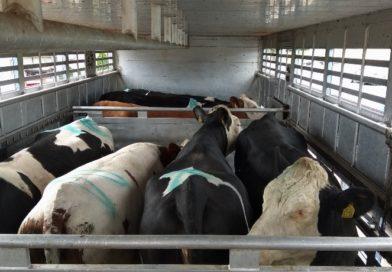 Nieprawidłowy transport zwierząt zatrzymany przez ITD